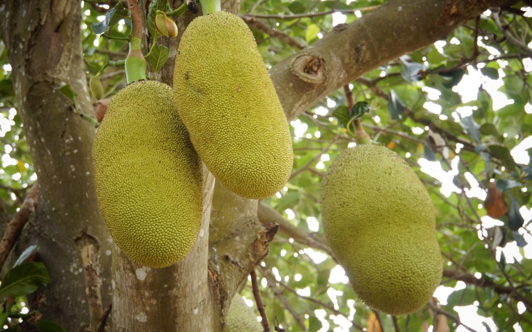 Jackfruit, Propiedades, Usos y Beneficios