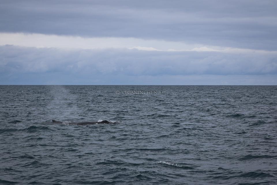 auftauchender Buckelwal, Husavik Island