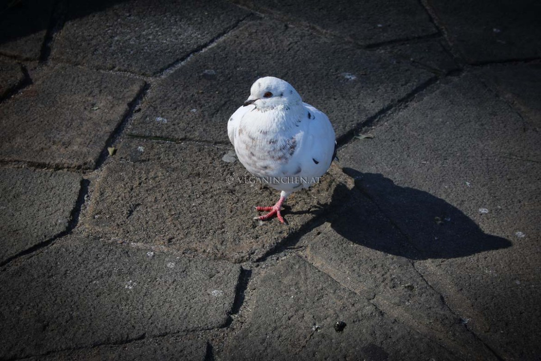 weiße Taube Barcelona veganinchen