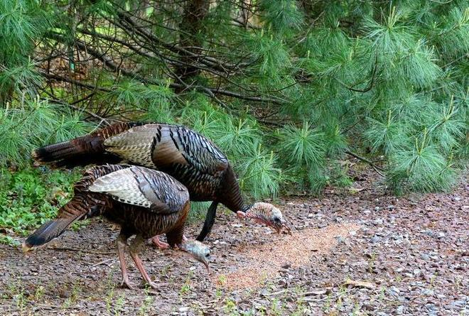 turkeys (2)
