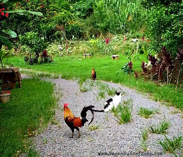 Rooster and cats at Leilani Farm Sanctuary, Maui, Hawaii