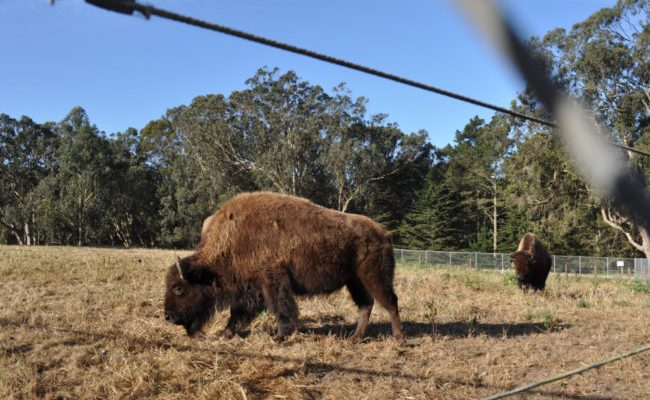 Heading For the 'Frisco Bay / These Are a Few of My Favorite Things: <b>Bison</b>