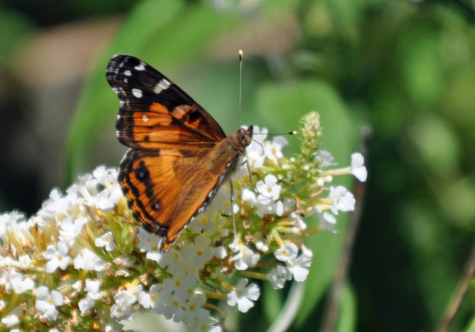 Backyard Butterfly Break