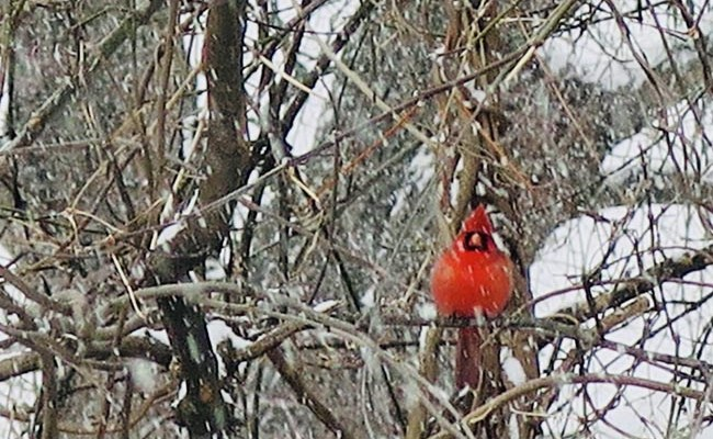 These Are A Few Of My Favorite Things: <b>Cardinals in the Snow</b>