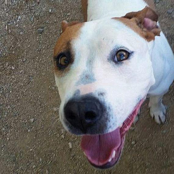 My name is LYLA. I am a spayed female, white and brown Pit Bull Terrier. The shelter staff think I am about 2 years and 5 months old. I have been at the shelter since Apr 15, 2015. I weigh approximately 51 pounds. I am in Kennel: 5193