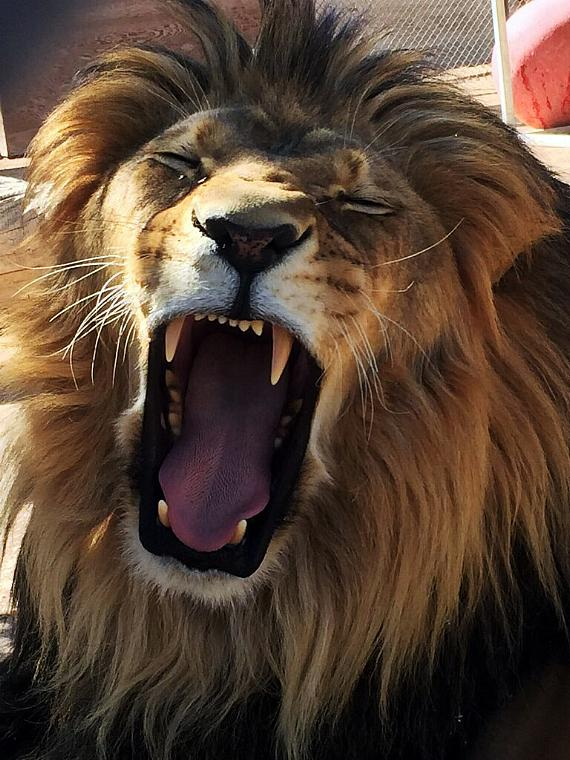 Lion yawns during Yoga session