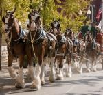 World-Renowned Budweiser Clydesdale and Dalmatian to Visit TAP Sports Bar at MGM Grand Feb. 26