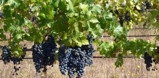 Cabernet Grapes, Ridge, Monte Bellow