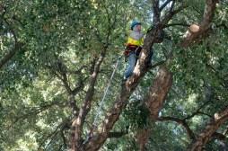 Cork tree at UC Davis!