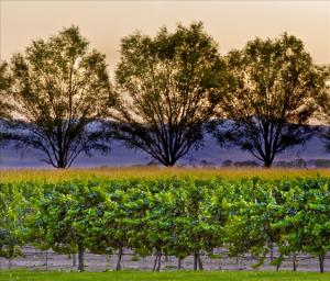 Churchill Vineyard