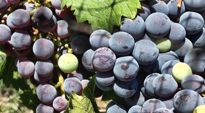 UNR Vineyards