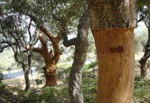Natural Cork Forest