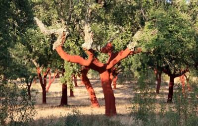 Cork tree harvested