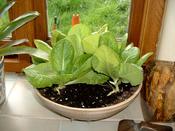 Bowl grown lettuce