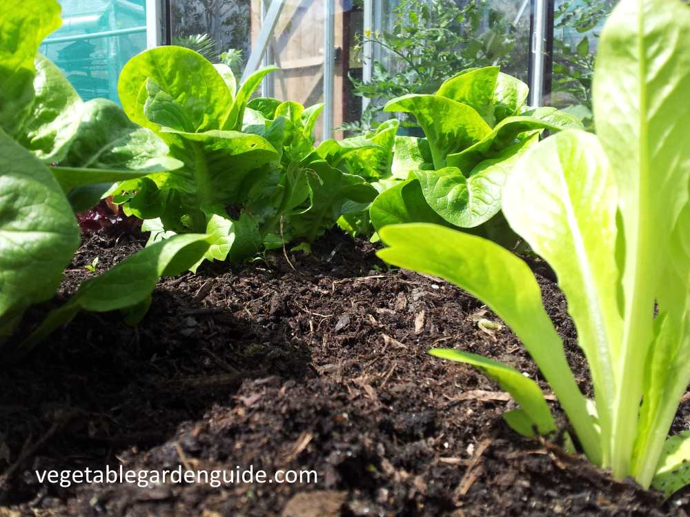 How To Grow Lettuce Tips Instructions And Pictures For A Tasty Harvest