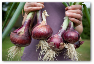 Tips for Growing Large Onions in the Garden