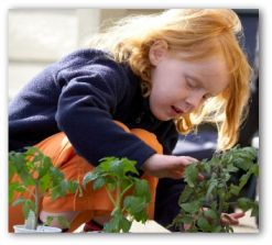 Planting Tomato Plants in Containers or Backyard Gardens