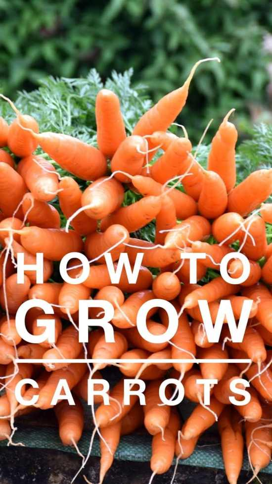 learn to grow carrots in the vegetable garden