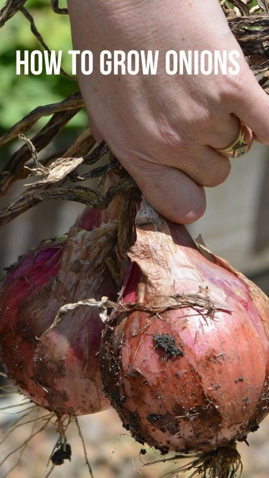 how to successfully grow onion plants
