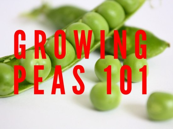 growing peas 101 gardening