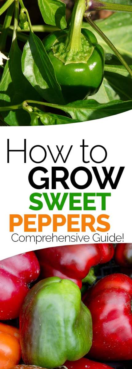 growing sweet peppers
