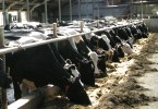 2010-10-08-vaches-gd