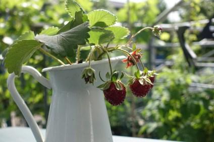strawberries 8