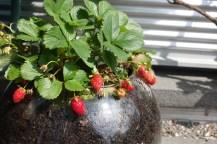 strawberries 7