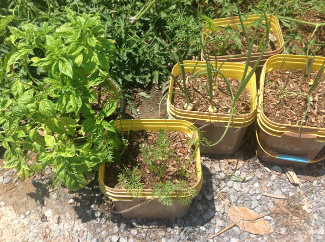Pots of fresh herbs and onions