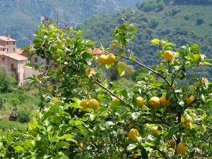 799px-Citrus_x_Limon_JPG1