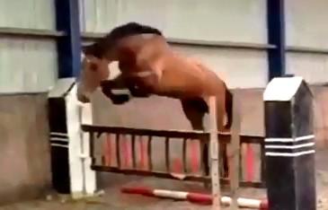 Kavel 26: 5 jarige BWP springpaard merrie