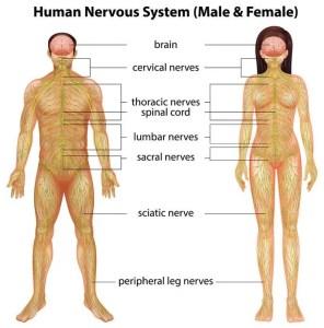 woodbridge chiropractic nervous system