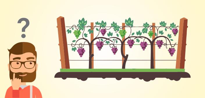 Como se planta a uva para vinho?