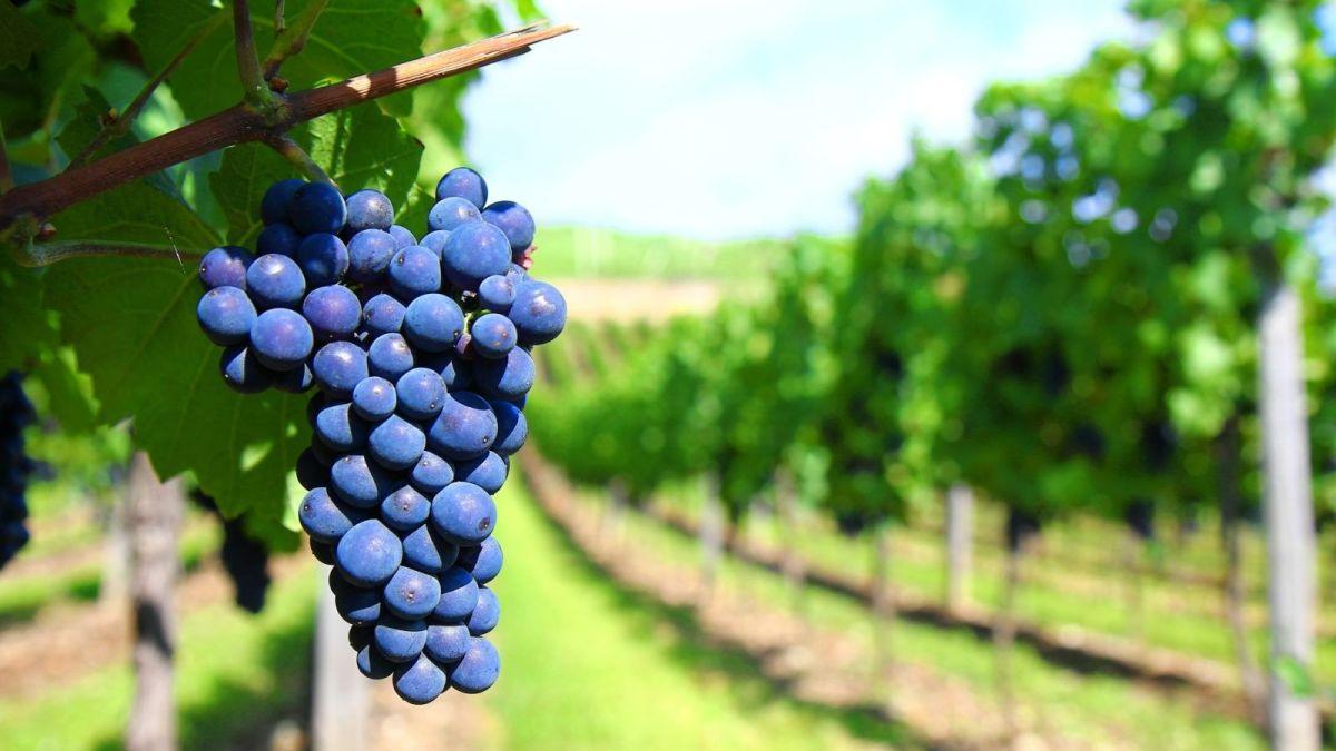 <strong>Cabernet Sauvignon</strong>: 10 curiosidades sobre o vinho Cabernet Sauvignon que você precisa saber
