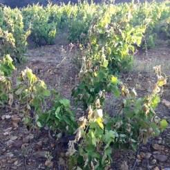 Sécheresse dans le Languedoc