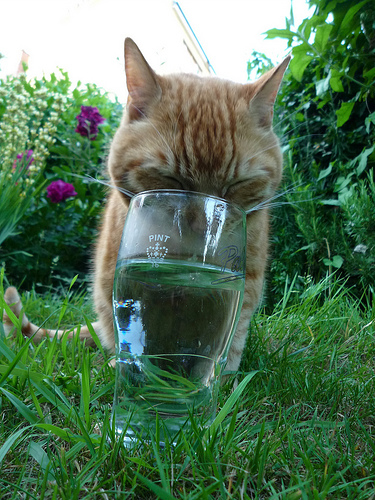 Cat drinks water from a glass