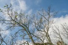 Defoliated old bur oak