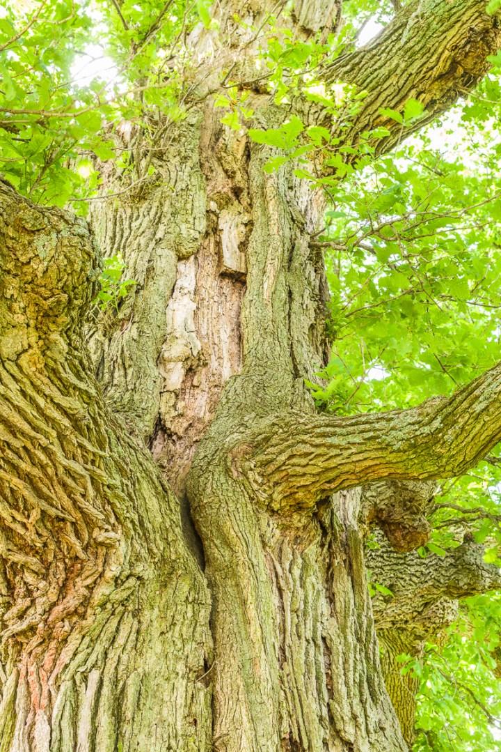 Lightning scar in an old bur oak