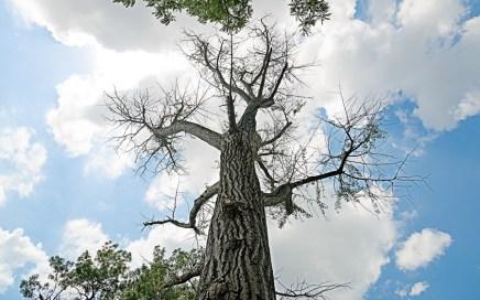 Ginkgo tree killed by stem damage