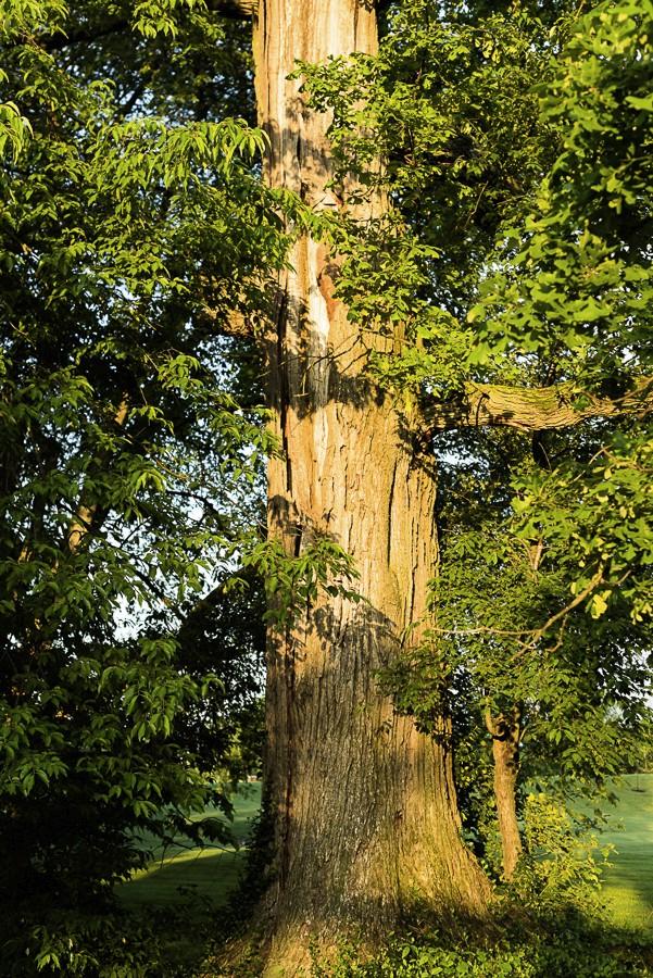 Bur oak with lightning scar