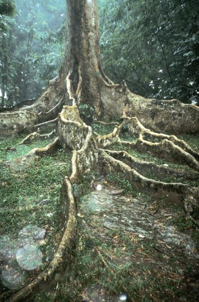 Quercus sumatrana in Sumatra