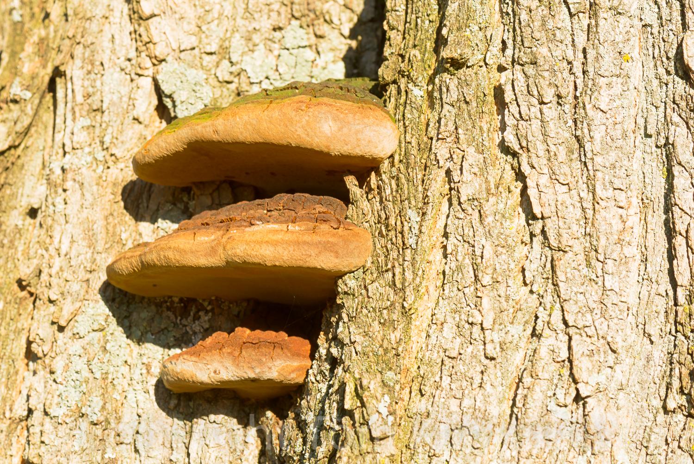 Yellow Locust Wood