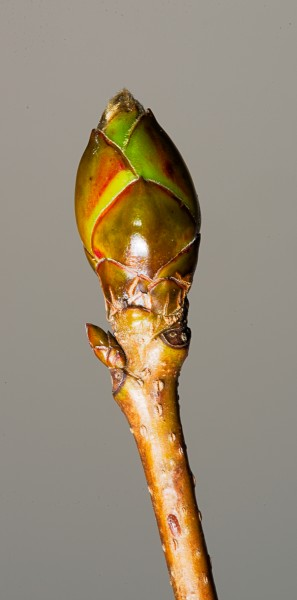 Sweetgum mixed bud containing flowers and leaves. The bud is swollen and the green on the bud scales show that it is growing and ready to 'pop'