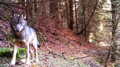 Emergenza lupi: No dall'Unione Europea