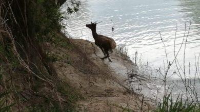 Avvistato un esemplare di cervo a Noventa di Piave