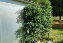Mirano: serra di cannabis in casa, arrestata coppia incensurata