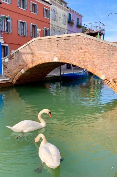 cigni a venezia , burano