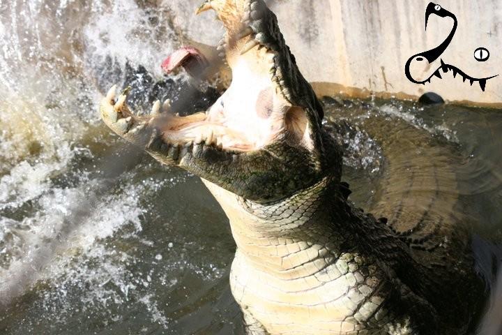 crocodile marin