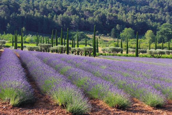 Image result for domaine des andéols lavender hills