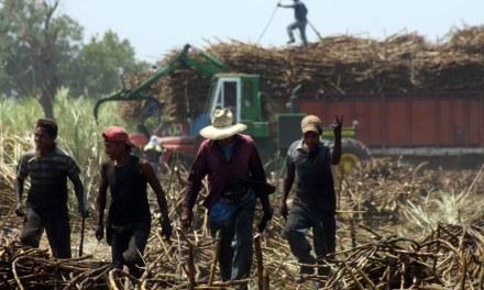 Veracruz, líder en producción de caña de azúcar